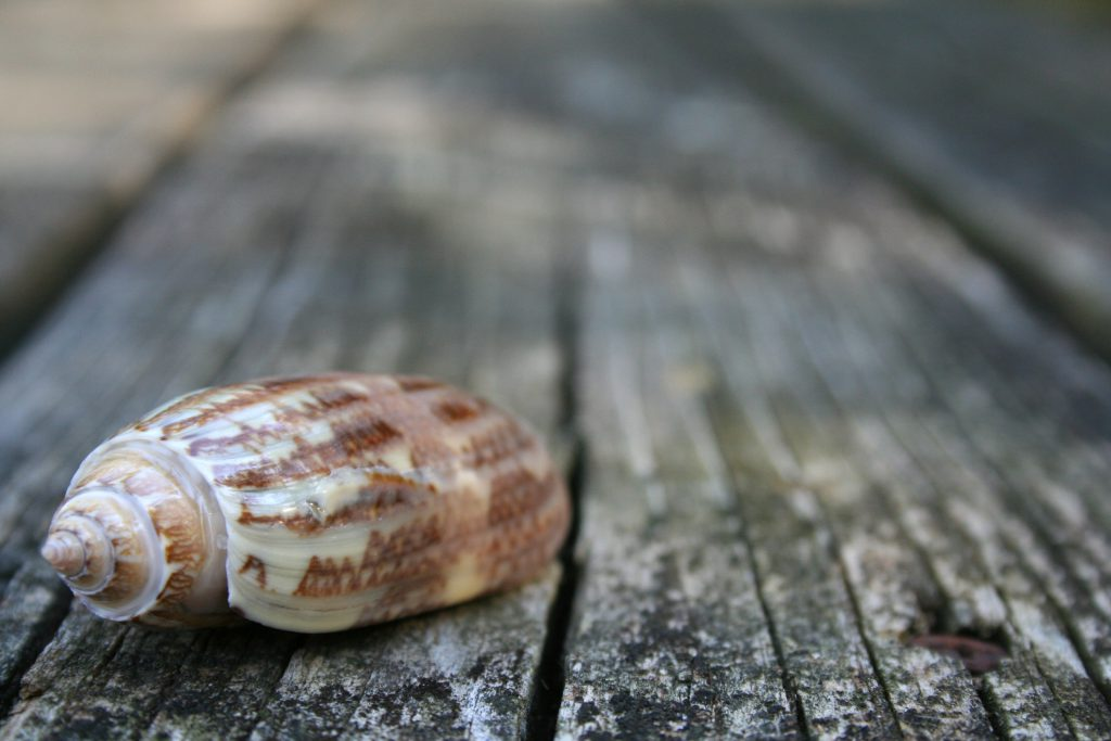 Shells You Can Find on Your Next Vacation to North Myrtle Beach